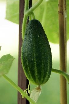 Mischkultur:  Gurken anbauen und gute Nachbarn finden