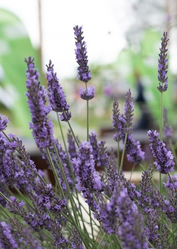 Lavendel ernten – so geht es
