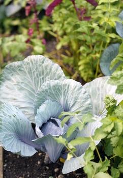 Rotkohl anbauen: pflanzen, pflegen, Erntezeit