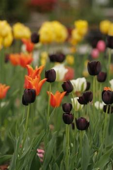 Tulpen über Samen oder Tochterzwiebeln vermehren