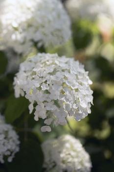 Weiß blühende Sträucher