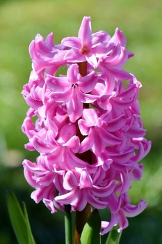 Hyazinthen vortreiben, pflanzen und pflegen