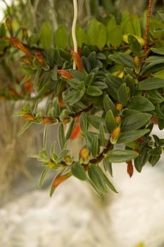 Schamblume pflanzen und pflegen