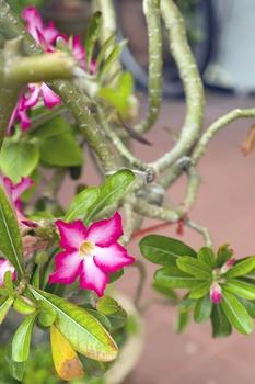 Wüstenrose pflanzen und pflegen