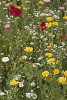 14 Wildblumen für den Garten