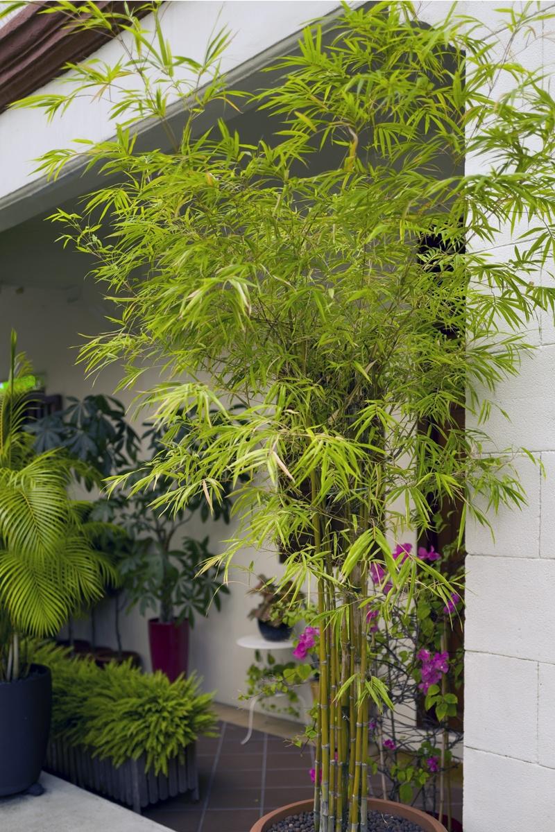 Immergrune Kubelpflanzen