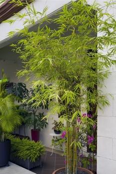 Immergrüne Kübelpflanzen