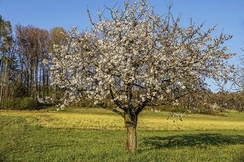 Kirschbaum schneiden – der richtige Zeitpunkt und Schnitt