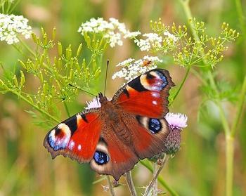 Einen Schmetterlingsgarten anlegen