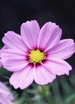11 einjährige Sommerblumen zum Vorziehen