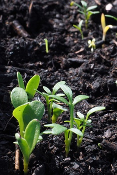 Gemüse und Blumen direkt ins Beet säen