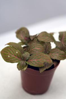 Mosaikpflanze pflanzen und pflegen