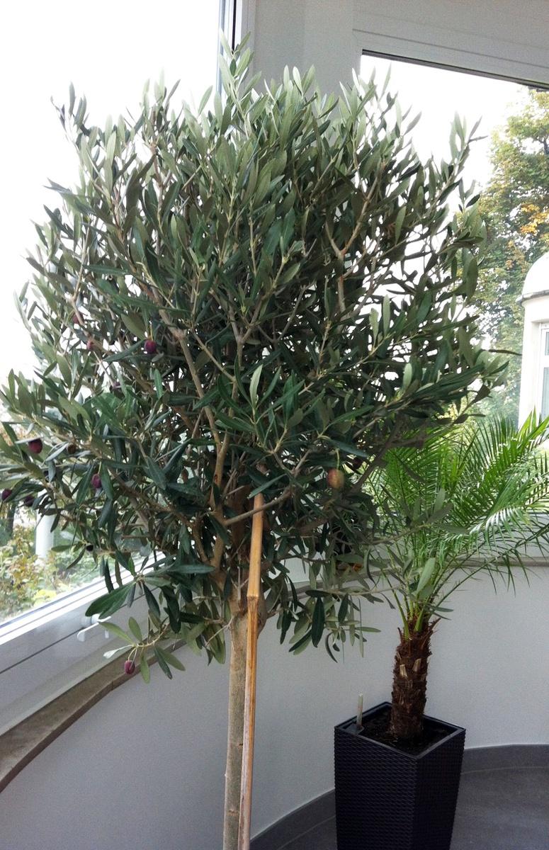 Olivenbaum Uberwintern