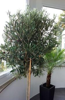 Olivenbaum winterfest machen und richtig überwintern