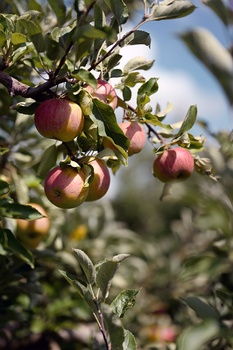 9 Obstpflanzen mit den leckersten Früchten für den Garten