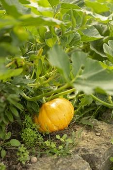 Mischkultur – gute Nachbarn für Zucchini und Kürbisse