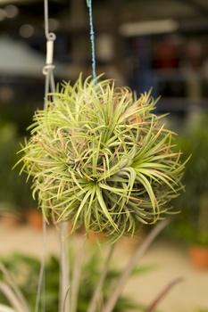 Tillandsien (Luftpflanzen) richtig pflegen, befestigen und gießen