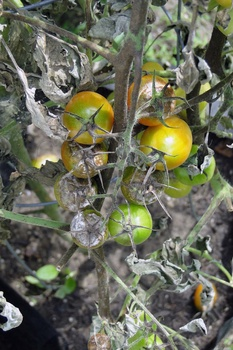 Krankheiten an Tomaten vorbeugen und verhindern