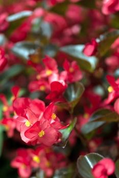 Begonien - Tipps zum Pflanzen, Pflegen, Vermehren und Standort