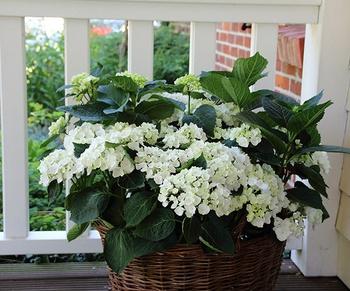Hortensien im Pflanzkübel – pflanzen, pflegen, schneiden & überwintern