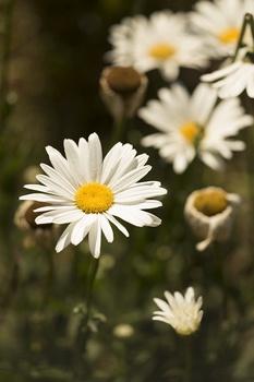 Wiesen-Margeriten pflanzen, pflegen, vermehren