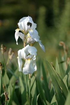 Bartiris, Schwertlilie pflanzen, pflegen, teilen, düngen