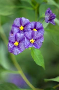 Solanum rantonnetii – Enzianstrauch