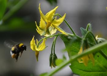 Tomatenblüten befruchten – so hilfst du beim Bestäuben der Blüten nach