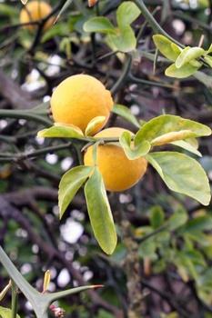 Winterharte Bitterorangen (Poncirus trifoliata) pflanzen und pflegen