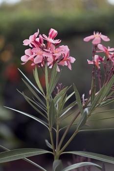 Wann, wie oft und wie Oleander gießen