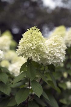 Fehler beim Schneiden von Hortensien vermeiden