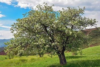 Birnbaum schneiden – Anleitung und richtiger Zeitpunkt