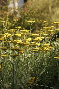Schafgarbe - pflanzen, pflegen, Standort