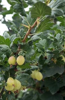 Stachelbeeren vermehren