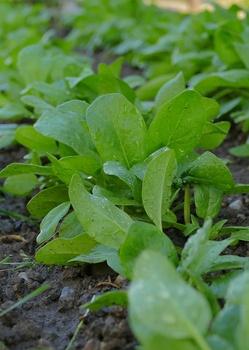 Grün, lecker und gesund: Spinat anpflanzen, pflegen und ernten