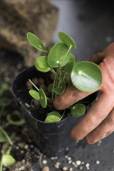 Zimmerpflanzen vermehren - die 3 besten Methoden