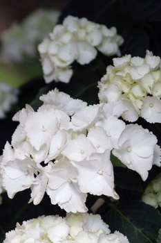 Beliebte weiße Zimmerpflanzen