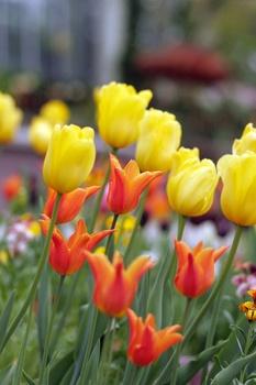 Zwiebelblumen richtig pflanzen