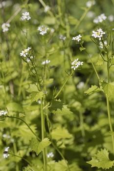 Knoblauchrauke pflanzen, ernten  und in der Küche verwenden