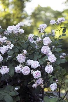 Rosen schneiden im Sommer