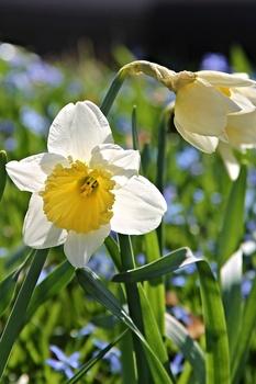 Bodendecker mit Zwiebelblumen kombinieren