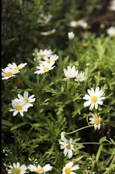 Strauch-Margeriten pflanzen, pflegen, vermehren und überwintern