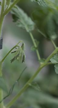 Warum die Blüten von Tomaten abfallen