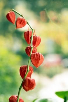 Lampionblume pflanzen und pflegen