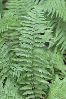 Blattläuse mit Sud aus Farnblättern vertreiben