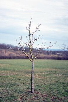 Apfelbaum schneiden – Anleitung für richtigen Schnitt und Zeitpunkt