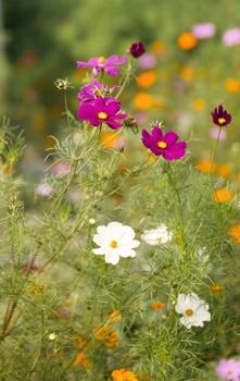 Cosmea pflanzen und pflegen