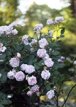 Rosen pflegen – auf organische und pflegeleichte Weise