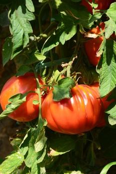 Aromatische Tomaten anbauen