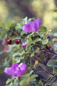 Apfelrosen, Kartoffelrosen im Garten pflanzen und pflegen